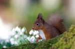 Red squirrel - © Niall Benvie (rspb-images.com)